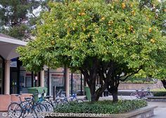 valencia orange tree - Google Search