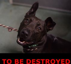 GONE 01/23/15 --- TO BE DESTROYED - 01/23/15 Brooklyn Center **  My name is MITCH. My Animal ID # is A1025779. I am a male black labrador retr mix. The shelter thinks I am about 3 YEARS old.  I came in the shelter as a STRAY on 01/18/2015 from NY 11691, owner surrender reason stated was STRAY.  https://www.facebook.com/photo.php?fbid=948584058487807