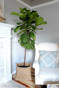 use basket for plantfiddle leaf fig tree pruned