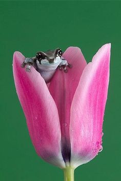 Baby Amazon Milk Frog in a Tulip!