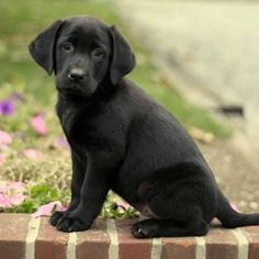 Black Labrador puppy.  Sitting pretty.