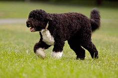 The Obama family dog, a Portuguese water dog named Bo, trots across the South Lawn August 2, 2010 in Washington, DC. (Chip Somodevilla/Getty Images)