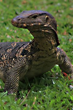The Asian Water Monitor Lizard! Used to have one and plan on adopting one in the future.
