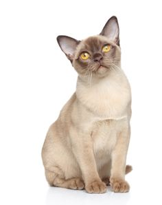 Champagne colored Burmese cat. BURMESE The Burmese is a