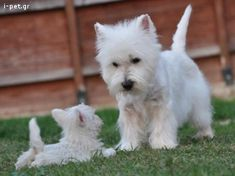 now listen, son …. you be a good boy for your Mummy please - West Highland Terrier Dog telling her Puppy off Baby Animals, Funny Animals, Cute Animals, Westies, Bichons, Beautiful Dogs, Animals Beautiful, Pet Dogs, Dog Cat