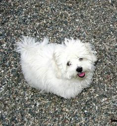 Your new #Coton #puppy will follow you everywhere.