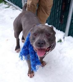 TO BE DESTROYED 02/14/2017 *PUBLICLY ADOPTABLE* A volunteer writes: No ears and all heart, that's our Puma! He's a true blue diamond in the rough who spreads love and enthusiastic tail wags everywhere he goes. Puma simply can't get enough attention and affection from his many fans and the only thing that distracts him from being a one dog welcoming committee is the lure of a tasty treat. He knows how to sit on command and wait for his reward before smooching it ever so gently from my hand…