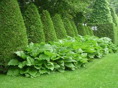 Hedges bordered by Ornamental rhubarb Topiary Garden, Garden Shrubs, Garden Plants, Garden Landscaping, Formal Gardens, Outdoor Gardens, Formal Garden Design, Gras, Hedges