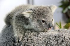 A sign of spring in the Southern Hemisphere: Two new koala joeys emerged from their mothers' pouches in Sydney's Taronga Zoo in late August. Both joeys are seven months old. Cute Funny Animals, Cute Baby Animals, Animals And Pets, Wild Animals, Koala Baby, Baby Otters, Australian Animals, Tier Fotos, My Animal