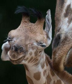 Rothschild Giraffes