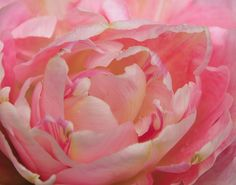 Susan G. Komen Tulip - they are so pretty, they almost look like peonies.  Love!