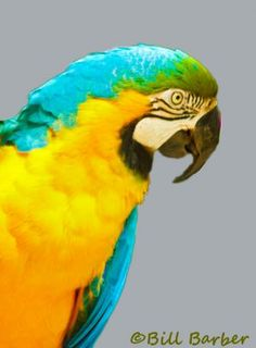 Blue and Gold Macaw-web.jpg