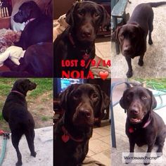 "#Lostdog 8-9-14 ""Nola"" #Slidell #LA #LabradorRetriever spayed female 2 yr 65-70 lb Chocolate Microchipped REWARD 504-259-4987 jesspacaccio@gmail.com"