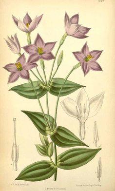 4545 Chironia peduncularis Lindl. / Curtis's Botanical Magazine, vol. 115 [ser. 3, vol. 45]: t. 7047 (1889) [M. Smith]