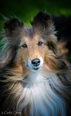 "Click visit site and Check out Cool ""SHELTIE"" T-shirts. This website is outstanding. Tip: You can search ""your name"" or ""your favorite shirts"" at search bar on the top."