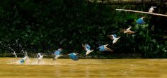 great sequence of shots of a kingfisher after a water dive