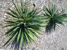 Yucca Plant Problems Why A Yucca Plant Has Brown Tips Or