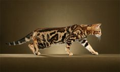 Marble Bengal
