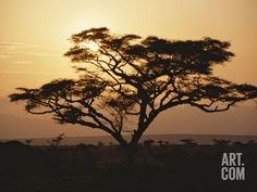 Sunset Through a Silhouetted Acacia Tree Photographic Print by Tim Laman at Art.com