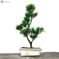 Podocarpus Bonsai Tree
