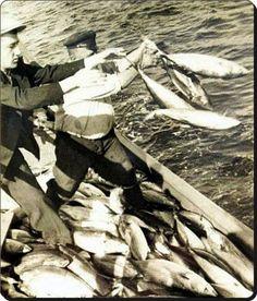 Tuttukları balıkların fazlasını tekrar denize atan balıkçılar - 1950'ler
