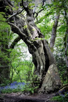 This is one of several 500 year old sweet chestnut trees on the island.  Their twisted and enormous trunks had huge hollow places.