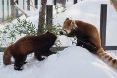 孟宗竹を食べるギンちゃん♪  Red pandas レッサーパンダ 小熊猫