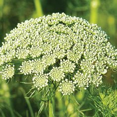 Green Mist - Ammi Seed   Johnny's Selected Seeds