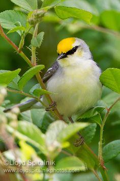 Brewster's Warbler-hybrid between Blue winged & Golden winged Warblers