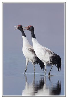Black-necked Crane (Grus nigricollis) is a medium-sized crane in Asia that breeds on the Tibetan Plateau and winters mainly in remote parts of India and Bhutan. Sea Birds, Wild Birds, Extinct Birds, Wildlife Of India, Shoebill, Crane Bird, Black Neck, Shorebirds, All Nature
