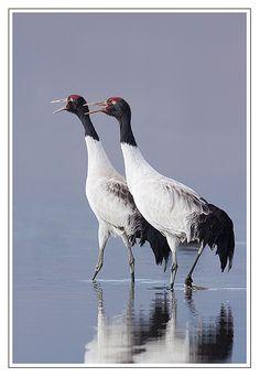Black-necked Cranes (Grus nigricollis)