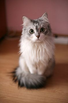 This is what my Caasi cat will look like when she's full grown! With her long hair :)