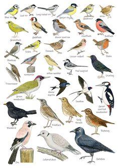 European Garden, British Garden, British Birds Identification, Backyard Birds, Garden Birds, Vogel Illustration, Bird Poster, Poster Print, British Wildlife