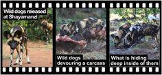 Home of Leopard.tv Wildlife Magazine, Shayamanzi wildlife ranch and wildlife music Wild Dogs, February 2015, Mystery, Wildlife, Articles, Tv, Movie Posters, Animals, Animales