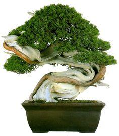 Shimpaku Juniper ~Juniperus Chinensis, Bonsai