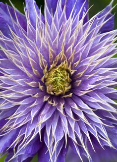 Spiky double purple Clematis with picotee flower Exotic Flowers, Amazing Flowers, Purple Flowers, Beautiful Flowers, Purple Dahlia, Rare Flowers, Beautiful Gorgeous, Purple Clematis, Clematis Vine