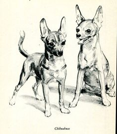 Chihuahua Dog Sketch Illustration Diana Thorne 1940's by RoxyRani