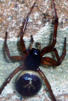 Poisonous Spiders UK | Warning over rise in UK's most dangerous spider due to warmer winters