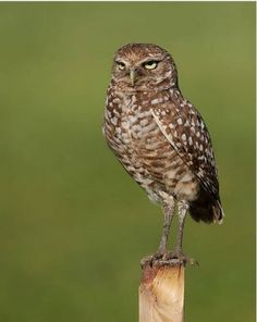 Burrowing owl A small owl (about nine inches tall) that nests in underground burrows. They prefer open fields with short grass and are diurnal, unlike most owls. Cayman Islands, Great Horned Owl Facts, Bolivia, Ecuador, Columbia, Burrowing Owl, Small Owl, Owl Pictures, North And South America
