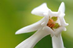 原種シクラメン  Cyclamen hederifolium | Flickr - Photo Sharing!