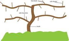 pruning grapes in summer - Google Search