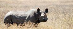 Le rhinocéros noir est une des espèces les plus gravement menacées dans le monde avec une population de seulement 4.848 individus.