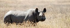 The Black Rhinoceros is one of the most critically endangered species in the world with a population of just 4,848 individuals.