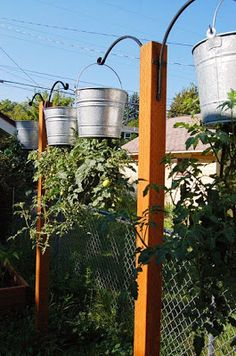 How to grow tomatoes in hanging buckets.