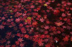 錦色につつまれた琴坂。 宇治・興聖寺の秋は鮮やかです。 (※12月1日撮影) 興聖寺、琴坂の入り口。 真っ赤な紅葉が迎えてくれました。 ...