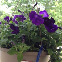 One of my hanging plants from hubby....gift for Mother's Day 2012.