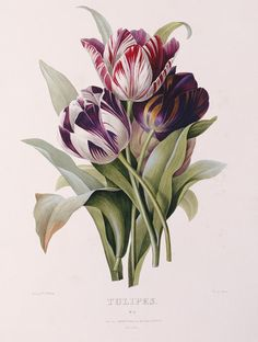 Tulips, from 'A Fine Series of Floral Bouquets' (hand colored engraving), Redoute, Pierre Joseph (1759-1840)