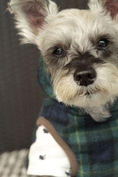sweatered mini schnauzer