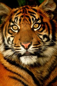Sumatran Tiger Cub- what a gorgeous face and colors!