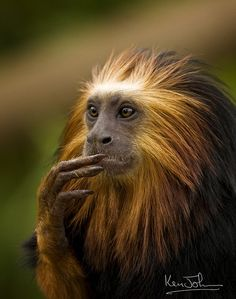 The Golden-headed Lion Tamarin (Leontopithecus chrysomelas) Is forest-dwelling monkey of the marmoset family confined to Bahia, Brazil. They feed on plants, fruit, various insects and small invertebrates. The Animals, Unusual Animals, Nature Animals, Funny Animals, Wild Animals, Primates, Mammals, Especie Animal, Mundo Animal
